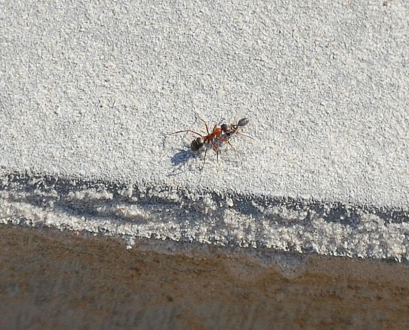 eine ameise hat eine kleinere ameise erwischt es sind recht gro e rote ameisen die ich dort. Black Bedroom Furniture Sets. Home Design Ideas