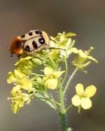 kaefer-blatthorn-und-hirschkaefer-2/144779/einer-der-farblich-praechtigsten-und-auffaelligsten Einer der farblich prächtigsten und auffälligsten Käfer in unseren Breitengraden ist der Pinselkäfer (Trichius rosaceus) mit seinen schwarz-gelb gekennzeichneten Flügeldecken, er ist mit den Rosenkäfern eng verwandt. Ich gebe zu das ich ihn zuerst als ich ihn sah für eine Hummel hielt, da er sehr laut brummt beim Fliegen und stark beharrt ist und sich bei seiner Pollensuche ähnlich einer Hummel bewegt. Gesichtet am 30.05.11 am Bhf. Flughafen Berlin-Schönefeld.