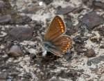 schmetterlinge-blaulinge/99333/waehrend-einige-blaeulinge-immer-seltener-in Während einige Bläulinge immer seltener in Deutschland geworden sind ist der gar nicht blaue sondern dunkelbraune Bläuling (Aricia agestis)schon noch recht häufig anzutreffen, 12.08.10 Berlin-Schönefeld.